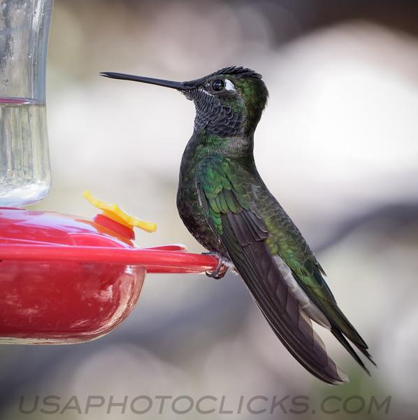 Magnificent (Rivoli's) Hummingbird b2041