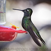 Magnificent (Rivoli's) Hummingbird b2041