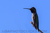 Black Chinned Hummingbird (b10315)