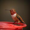 Rufous Hummingbird b2031