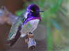 Costs's Hummingbird (b1051)