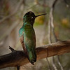 Magnificent (Rivoli's) Hummingbird b2043