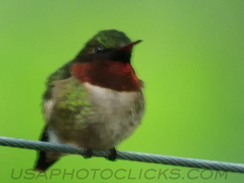 Ruby Throated Hummingbird (b1062)