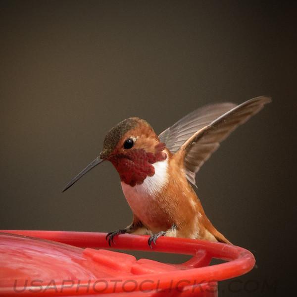 Rufous Hummingbird b2032