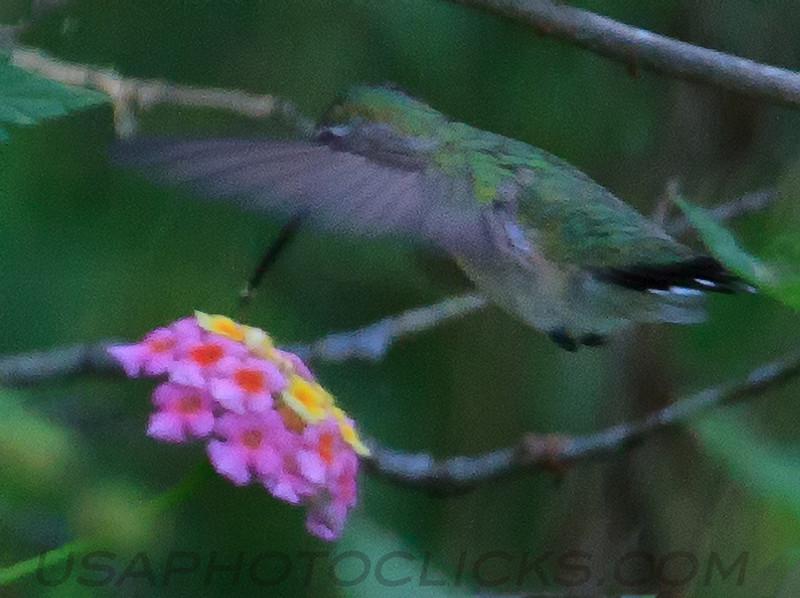 Ruby Throated Hummingbird (b1061)