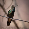 Magnificent (Rivoli's) Hummingbird b2042
