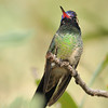White-eared hummingbird captured at Beatty's Guest ranch,Miller Canyon,AZ.