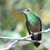 Berylline Hummingbird at Beatty's Guest Ranch,Miller Canyon,AZ,2009