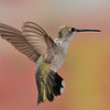 female Black-Chinned Hummingbird at Ramsey Canyon Inn,Ramsey Canyon,AZ,2009.