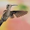 female Magnificent Hummingbird at at Ramsey Canyon Inn,Ramsey Canyon,AZ,2009.