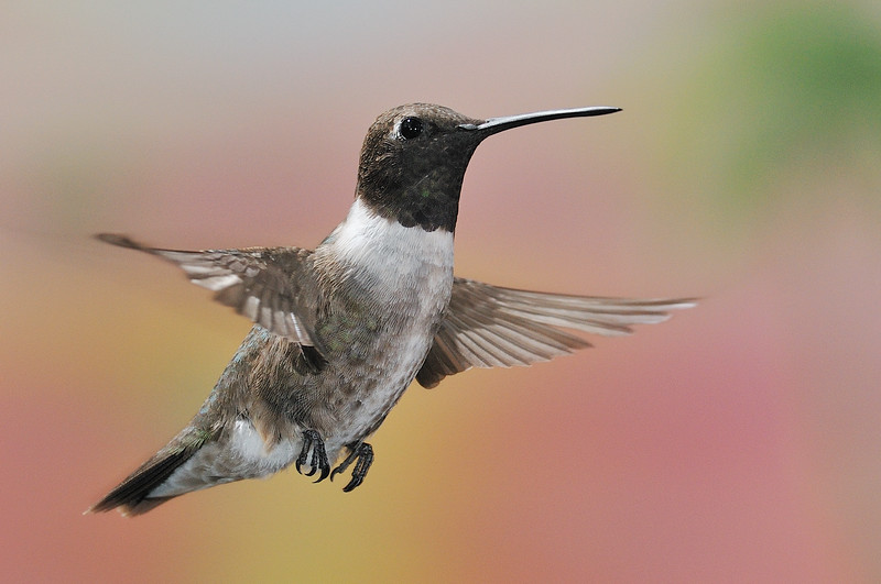 Black-chinned Hummingbird at Beatty's Guest Ranch,Miller Canyon,AZ,2009