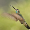 Magnificent Hummingbird,Miller Canyon,AZ.