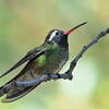 White-eared Hummingbird at Beatty's Guest Ranch,Miller Canyon,AZ,2009
