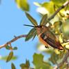 Rufous Hummingbird at Ash Canyon ,AZ