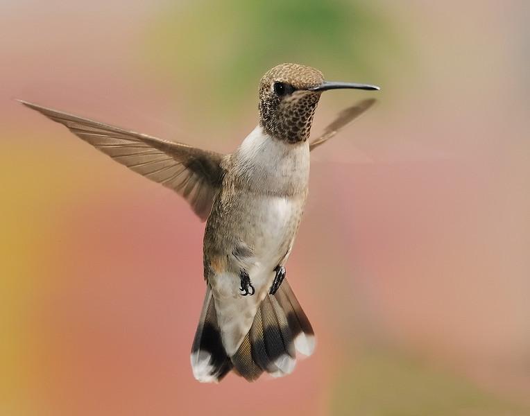 Black-chinned Hummingbird hybrid at Ramsey Canyon Inn,Ramsey Canyon,AZ,2009.