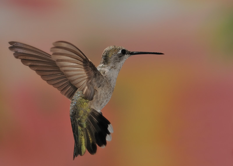 female Magnificent Hummingbird,Ramsey Canyon Inn,Ramsey Canyon,AZ.