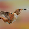 male Rufous Hummingbird at Beatty's Guest Ranch,Miller Canyon,AZ,2009<br /> This is one of the multiple-flash hummingbird photos. I used 5 flashes to get this image<br /> in SE Arizona.