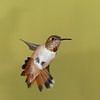 Rufous Hummingbird at Ash Canyon ,AZ