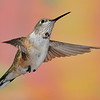 Rufous Hummingbird at Ramsey Canyon Inn,Ramsey Canyon,AZ,2009.