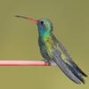 Broad-billed Hummingbird at Ash Canyon,AZ