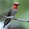 Anna's Hummingbird at Miller Canyon,AZ