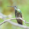 Magnificent Hummingbird at Beatty's Guest Ranch,Miller Canyon,AZ