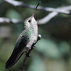 female Broad-bill Hummingbird at Beatty's Guest Ranch,Miller Canyon,AZ,2009
