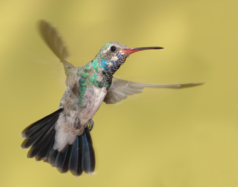 Broad-billed hummingbird at Ash Canyon,AZ.