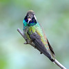 White-eared hummingbird at Miller Canyon, AZ