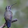Blue-throated Hummingbird at Miller Canyon,AZ