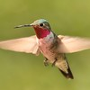 Broad-tailed Hummingbird,Miller Canyon,AZ.
