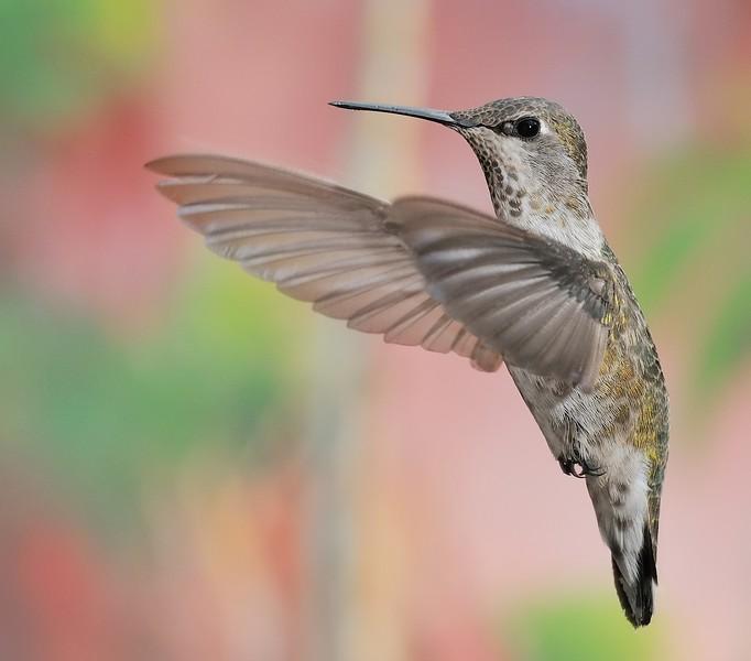 female Broad-tailed Hummingbird at Ramsey Canyon Inn,Ramsey Canyon,AZ,2009.