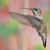 female Broad-tailed Hummingbird at Ramsey Canyon Inn,Ramsey Canyon,AZ,2009.