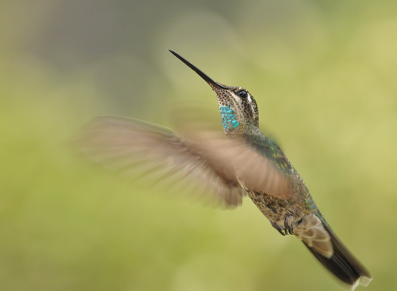 Magnificent Hummingbird at Beatty's Guest Ranch,Miller Canyon,AZ,2009