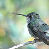 female Broad-billed Hummingbird at Beatty's Guest Ranch,Miller Canyon,AZ,2009