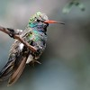 Broad-billed Hummingbird at Ash Canyon B&B,Ash Canyon,AZ,2009.