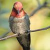 Anna's Hummingbird at Beatty's Guest Ranch,Miller Canyon,AZ,2009