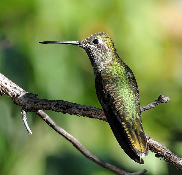 female Magnificent hummingbird