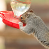 This squirrel was so thirsty that he got on the hummingbird feeder to drink the sugar<br /> water and he took a long time to finish it.  Captured at Ramsey Canyon Inn, Ramsey Canyon,AZ 2009.