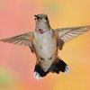 Rufous Hummingbird,Ramsey Canyon Inn,Ramsey Canyon,AZ.