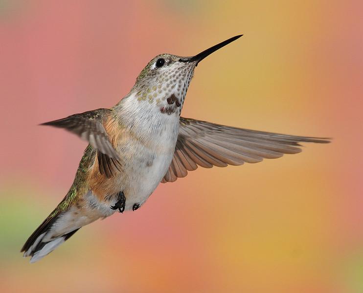 Broad-tailed hummingbird captured at Ramsey Canyon Inn,Ramsey Canyon,Az.