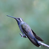 male Blue-throated Hummingbird at Miller Canyon,AZ