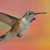 Broad-tailed hummingbird captured at Ramsey Canyon Inn,Ramsey Canyon,Az.