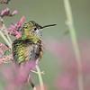 Calliopi Hummingbird at Ash Canyon B&B,Ash Canyon,AZ,2009.