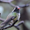 White-eared hummingbird at Beatty's Guest Ranch,Miller Canyon,AZ.