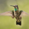 Magnificent hummingbird captured at Beatty's Guest ranch,Miller Canyon,AZ.