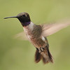 Black-chinned Hummingbird at Beatty's Guest Ranch,Miller Canyon,AZ,2009<br /> One of the common hummingbirds in Arizona.
