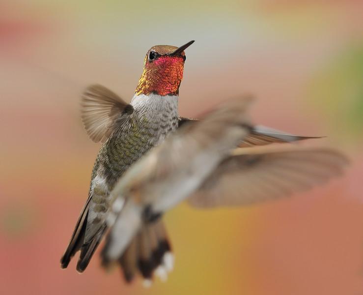 Anna's Hummingbird at Ramsey Canyon Inn,Ramsey Canyon,AZ,2009.