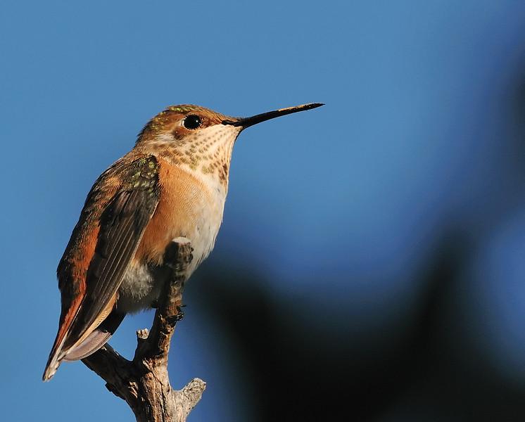 Rofous Hummingbird,Ash Canyon,AZ. I spotted this Rufous hummingbird near at sunset and the sun's last remaining light lit the bird.
