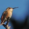 Rofous Hummingbird,Ash Canyon,AZ. I spotted this Rufous hummingbird near at sunset and the sun's last remaining light lit the bird.